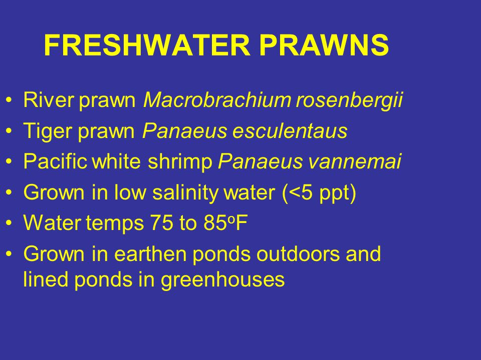 FRESHWATER PRAWNS River prawn Macrobrachium rosenbergii