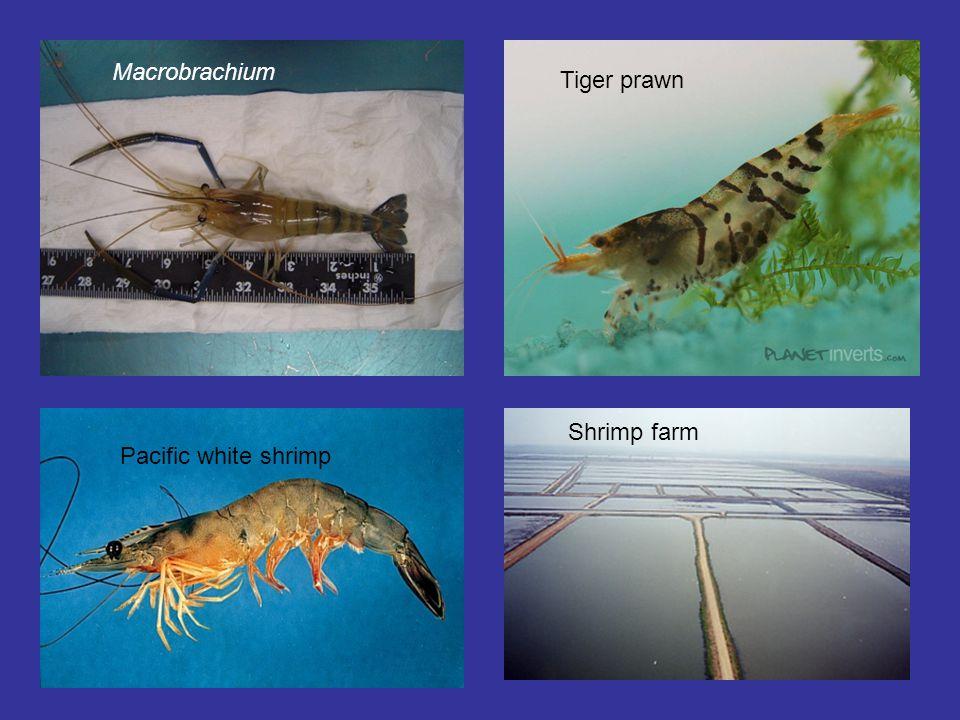 Macrobrachium Tiger prawn Shrimp farm Pacific white shrimp