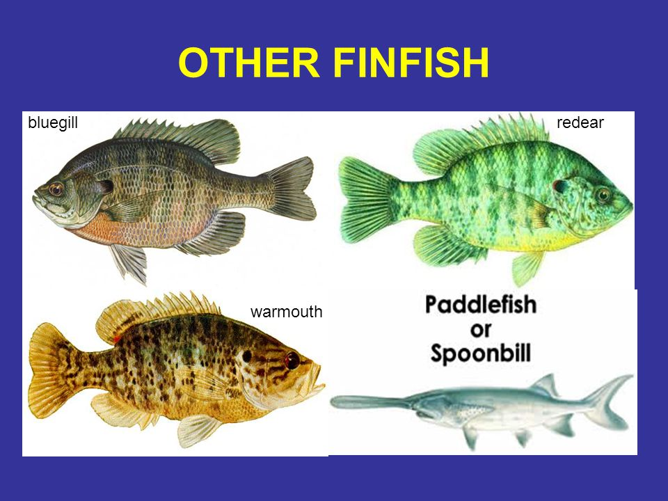 OTHER FINFISH bluegill redear warmouth
