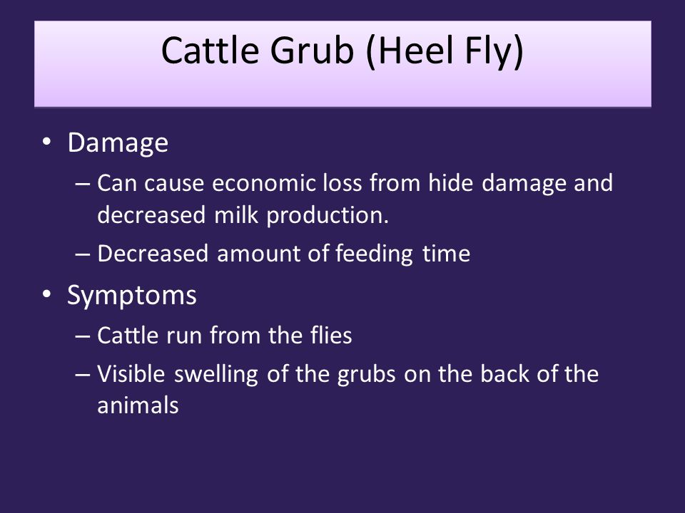 Cattle Grub (Heel Fly) Damage Symptoms