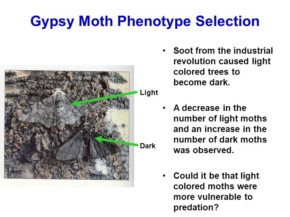 Gypsy Moth Phenotype Selection