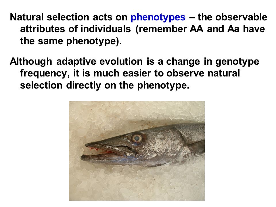 Natural selection acts on phenotypes – the observable attributes of individuals (remember AA and Aa have the same phenotype).