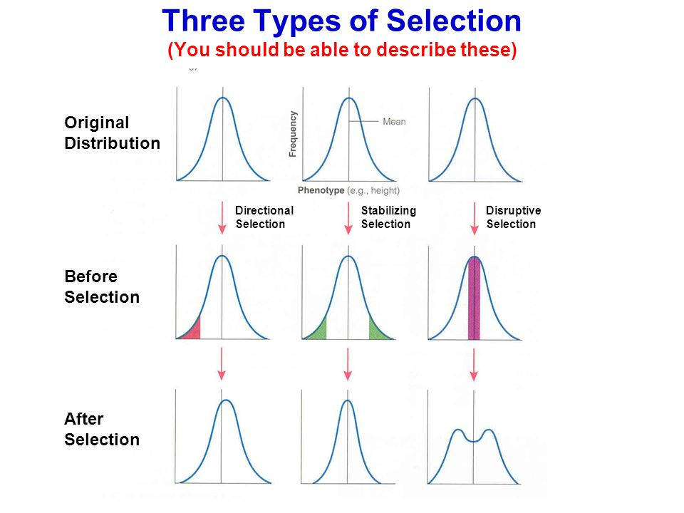 Three Types of Selection (You should be able to describe these)