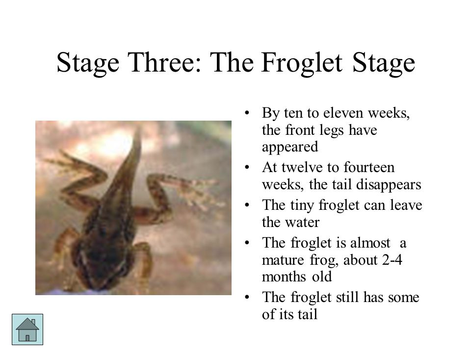 Stage Three: The Froglet Stage