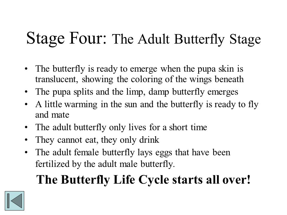 Stage Four: The Adult Butterfly Stage