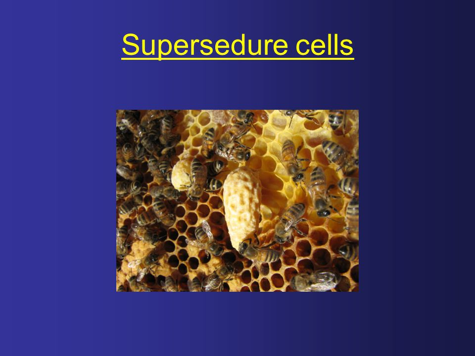 Supersedure cells