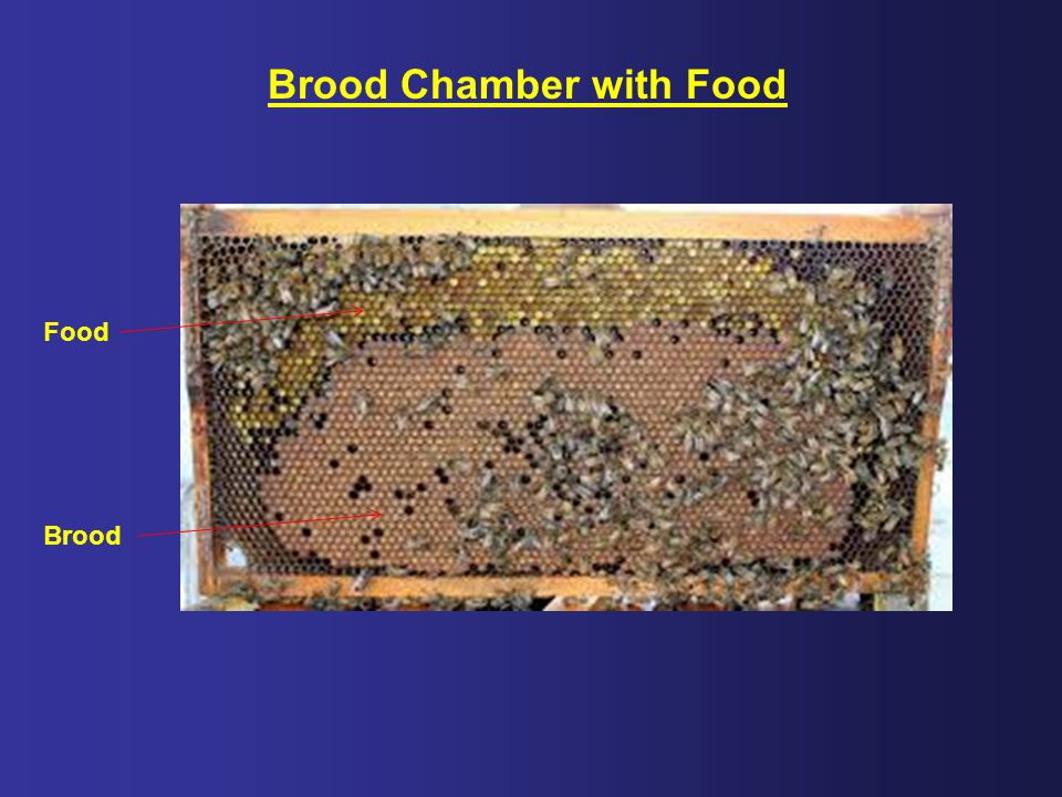 Brood Chamber with Food