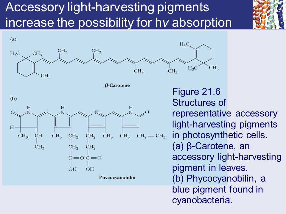 Accessory light-harvesting pigments increase the possibility for hν absorption