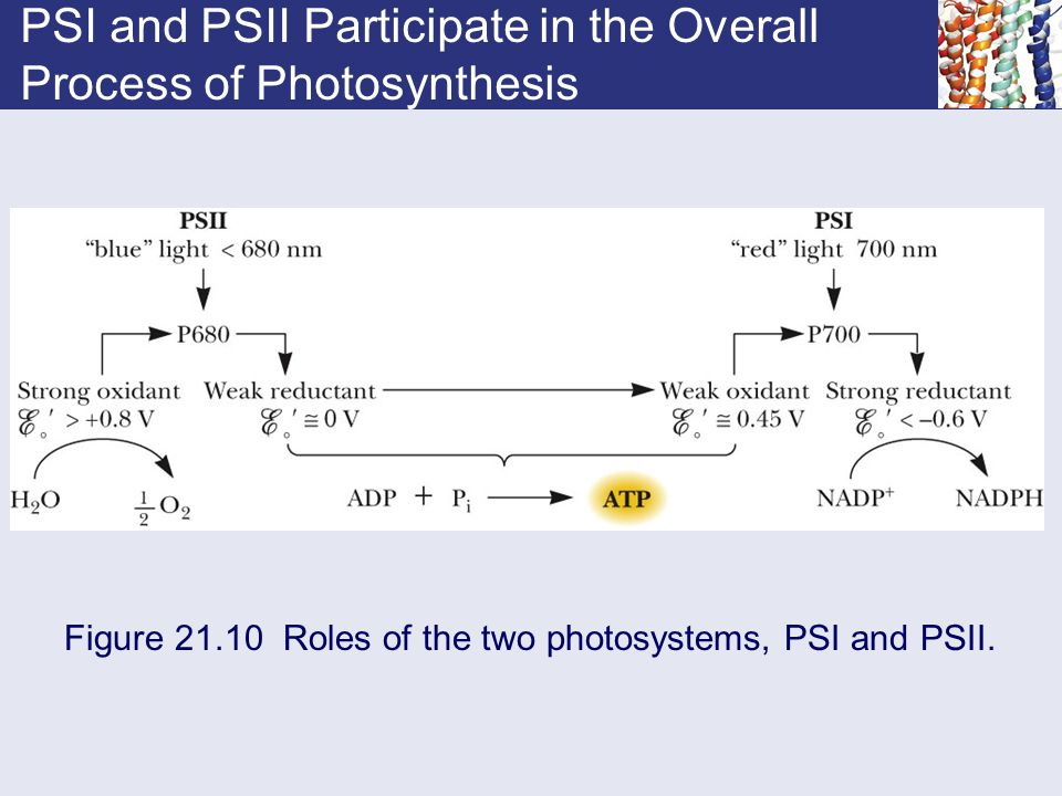 PSI and PSII Participate in the Overall Process of Photosynthesis