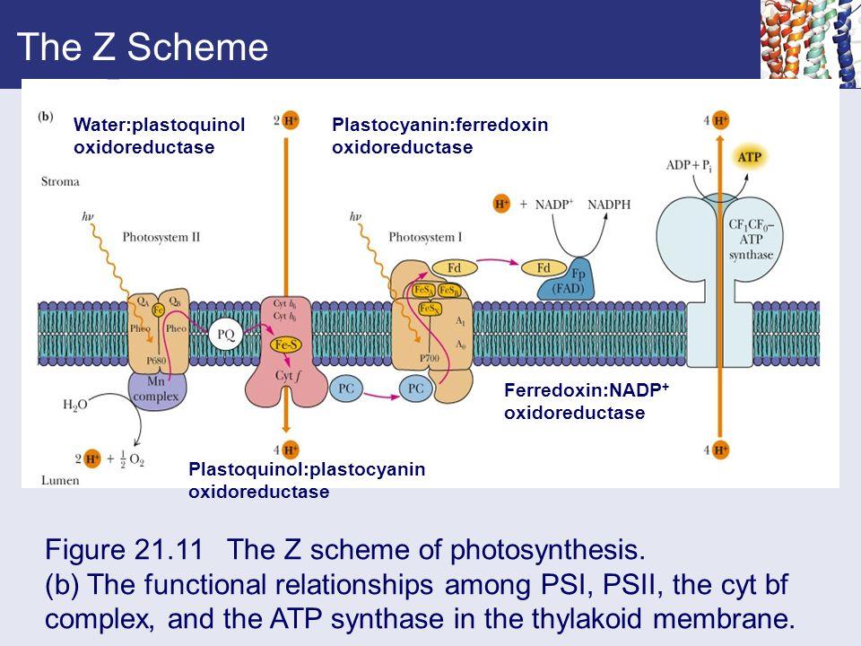 The Z Scheme Figure 21.11 The Z scheme of photosynthesis.