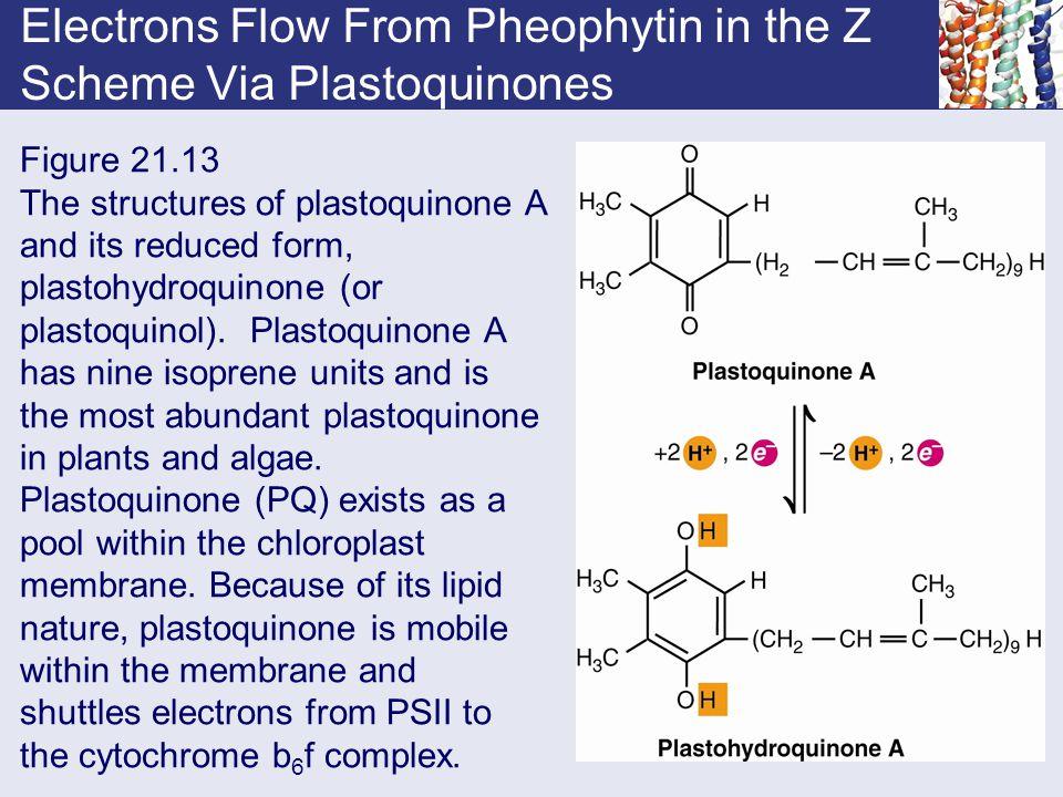 Electrons Flow From Pheophytin in the Z Scheme Via Plastoquinones