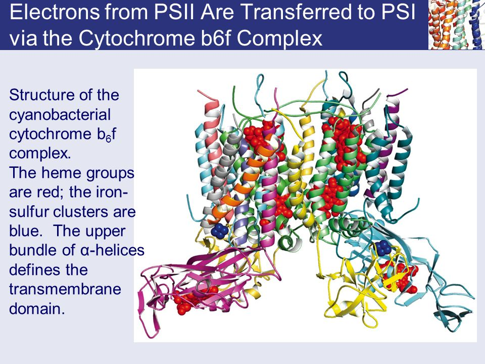 Electrons from PSII Are Transferred to PSI via the Cytochrome b6f Complex