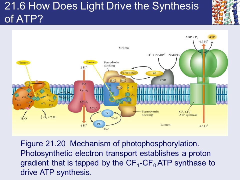 21.6 How Does Light Drive the Synthesis of ATP