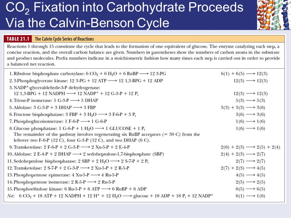 CO2 Fixation into Carbohydrate Proceeds Via the Calvin-Benson Cycle