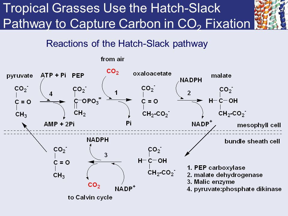 Tropical Grasses Use the Hatch-Slack Pathway to Capture Carbon in CO2 Fixation