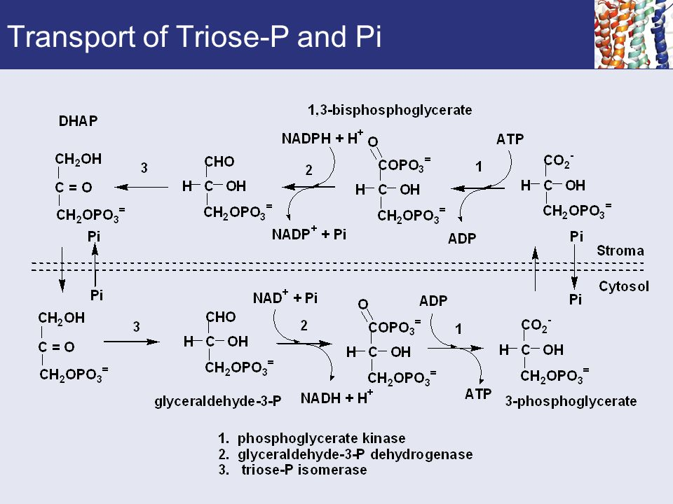 Transport of Triose-P and Pi