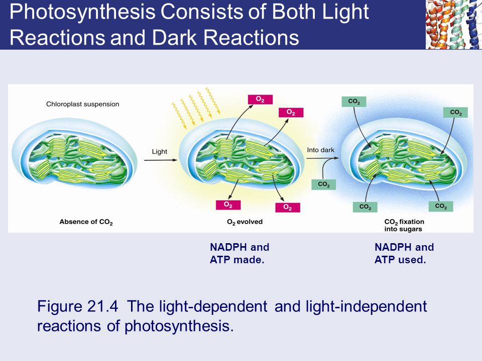Photosynthesis Consists of Both Light Reactions and Dark Reactions