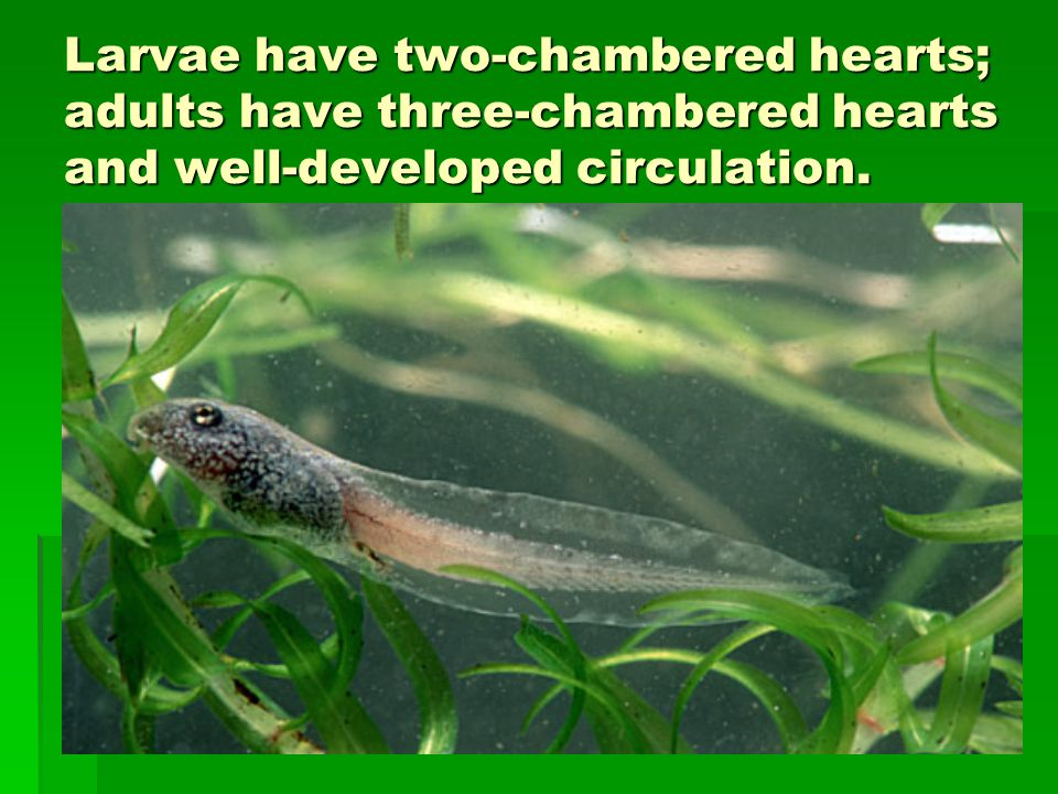 Larvae have two-chambered hearts; adults have three-chambered hearts and well-developed circulation.