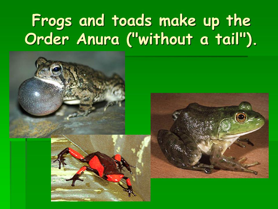 Frogs and toads make up the Order Anura ( without a tail ).