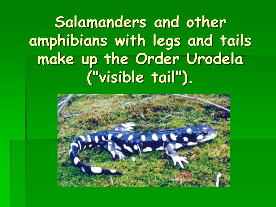 Salamanders and other amphibians with legs and tails make up the Order Urodela ( visible tail ).