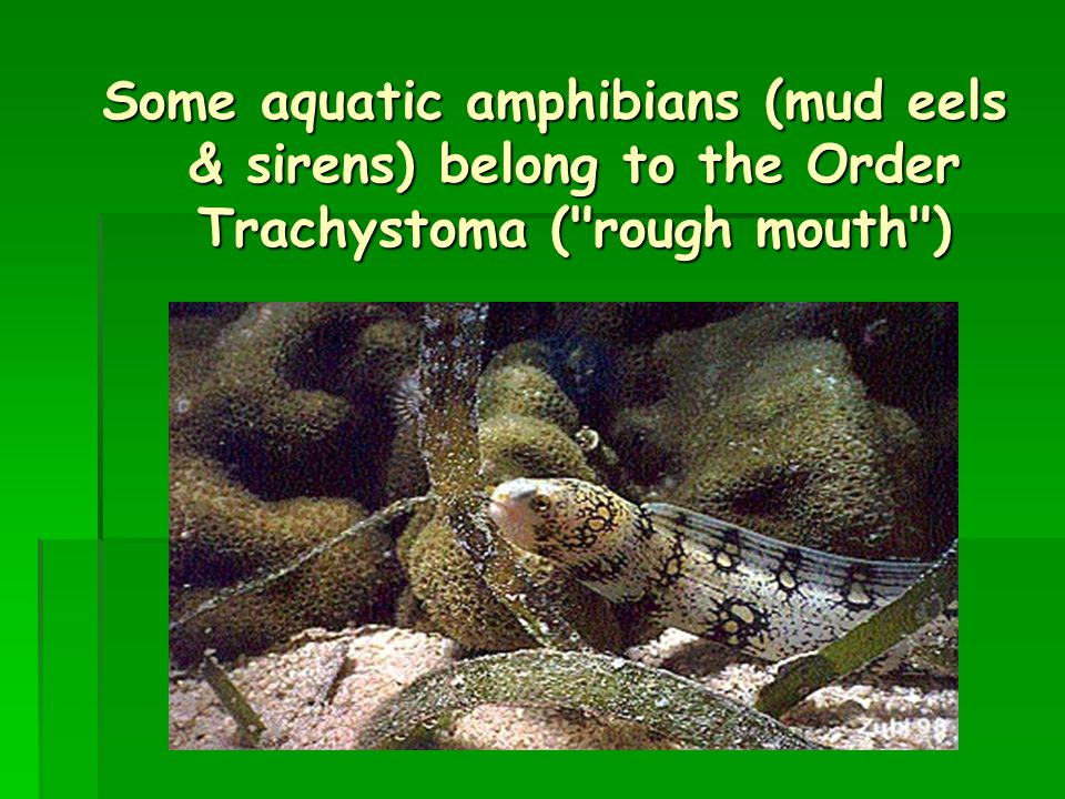 . Some aquatic amphibians (mud eels & sirens) belong to the Order Trachystoma ( rough mouth )
