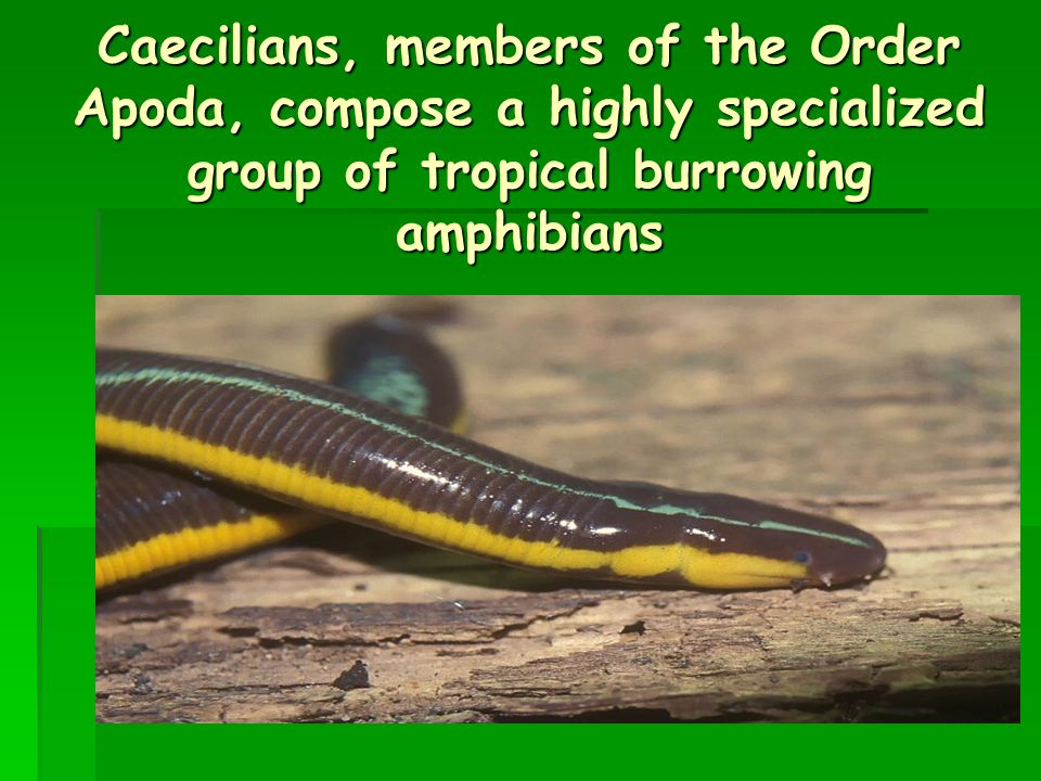 Caecilians, members of the Order Apoda, compose a highly specialized group of tropical burrowing amphibians