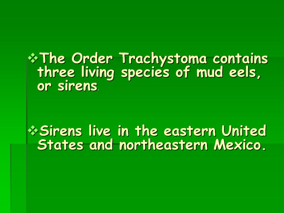 The Order Trachystoma contains three living species of mud eels, or sirens.