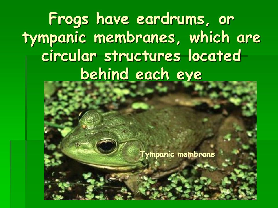 Frogs have eardrums, or tympanic membranes, which are circular structures located behind each eye