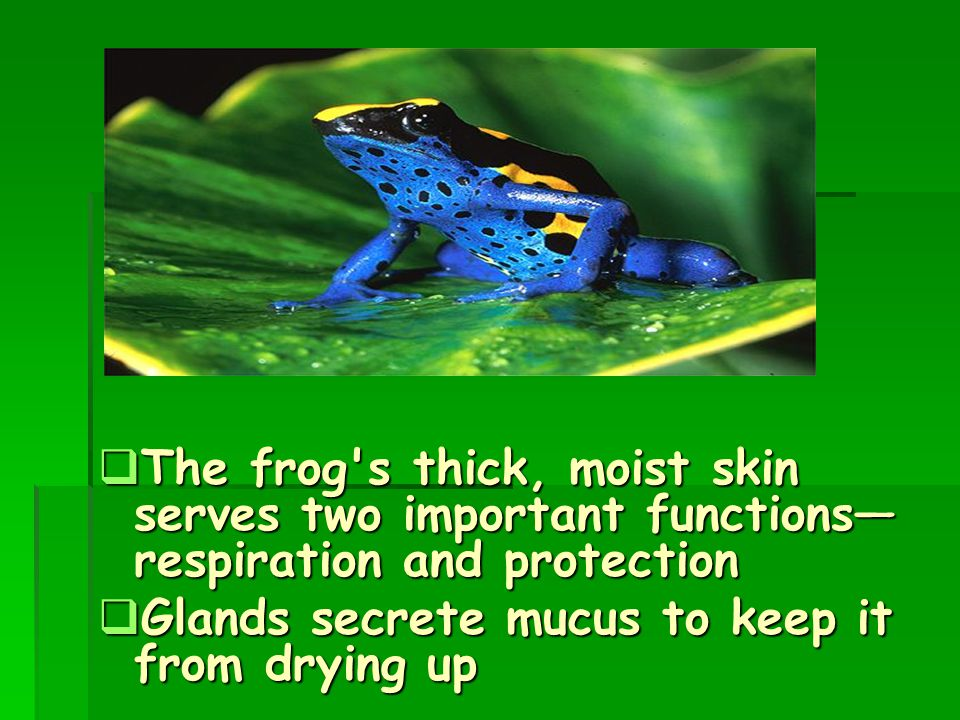 The frog s thick, moist skin serves two important functions— respiration and protection