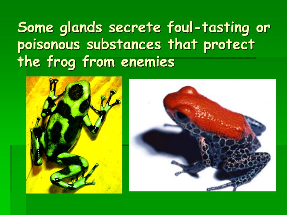Some glands secrete foul-tasting or poisonous substances that protect the frog from enemies