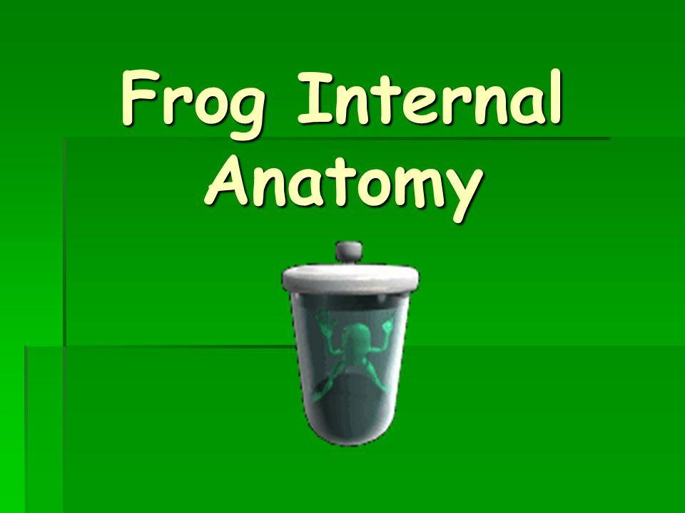 Frog Internal Anatomy