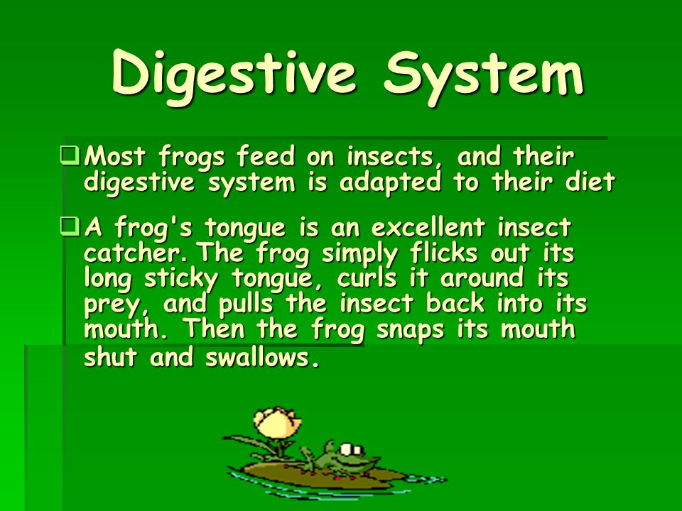 Digestive System Most frogs feed on insects, and their digestive system is adapted to their diet.