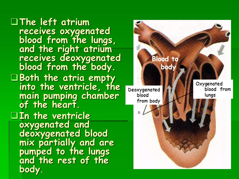 The left atrium receives oxygenated blood from the lungs, and the right atrium receives deoxygenated blood from the body.