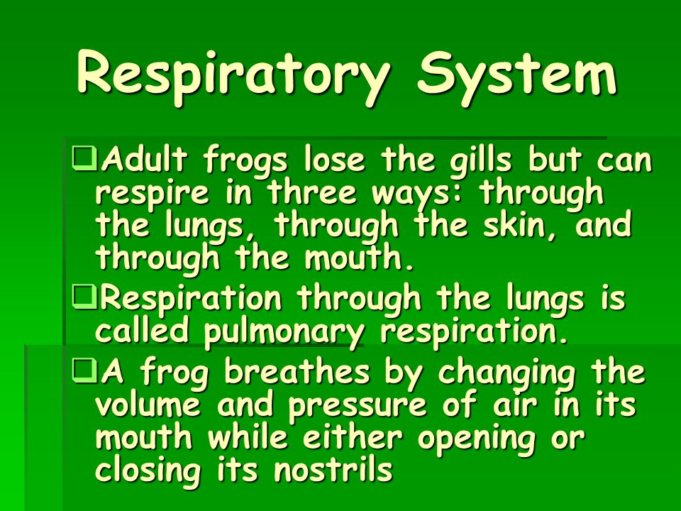 Respiratory System Adult frogs lose the gills but can respire in three ways: through the lungs, through the skin, and through the mouth.