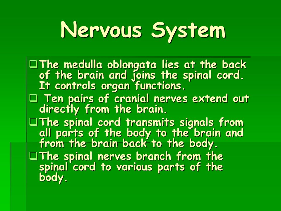 Nervous System The medulla oblongata lies at the back of the brain and joins the spinal cord. It controls organ functions.