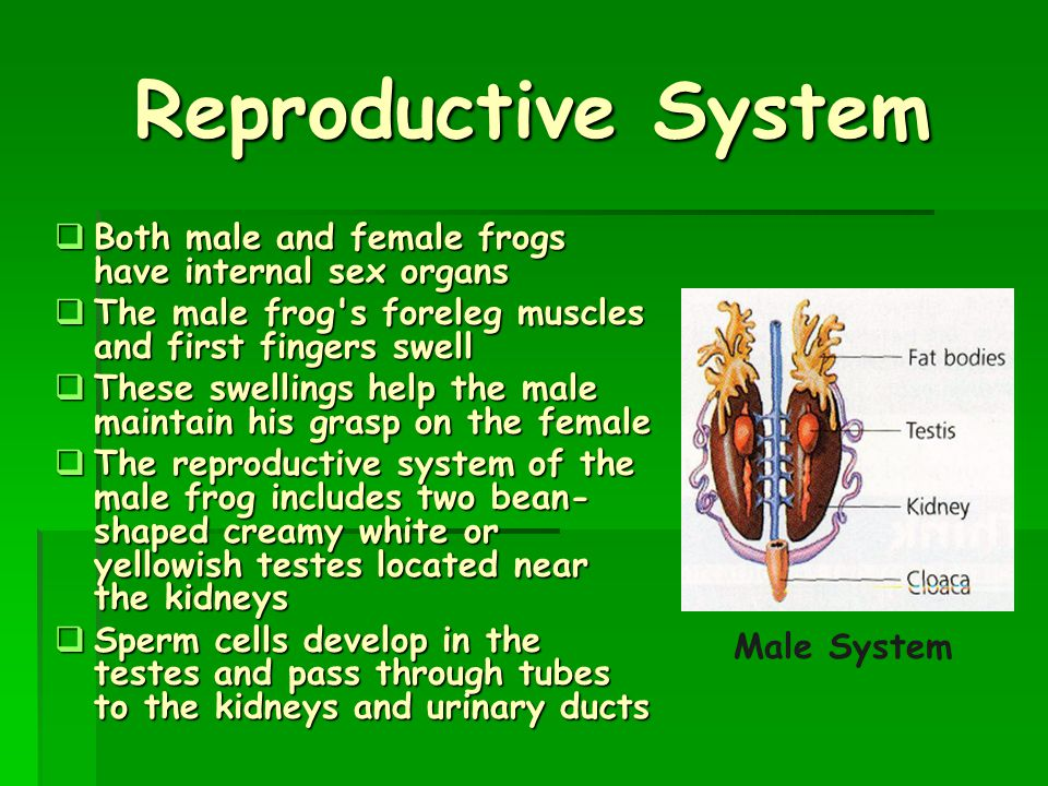 Reproductive System Both male and female frogs have internal sex organs. The male frog s fore­leg muscles and first fingers swell.