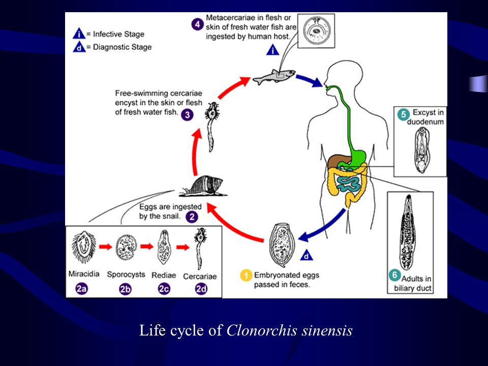 Life cycle of Clonorchis sinensis