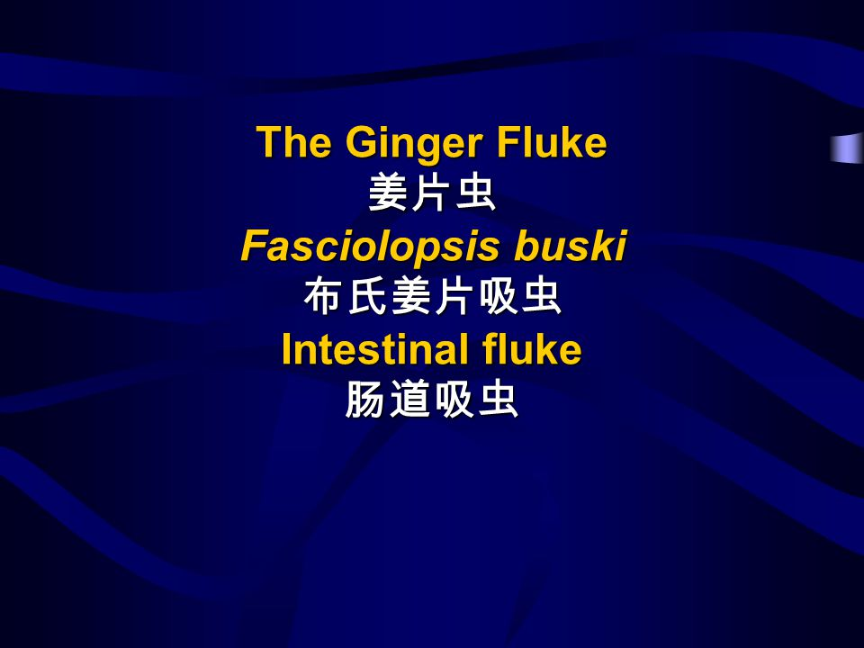 The Ginger Fluke 姜片虫 Fasciolopsis buski 布氏姜片吸虫 Intestinal fluke 肠道吸虫