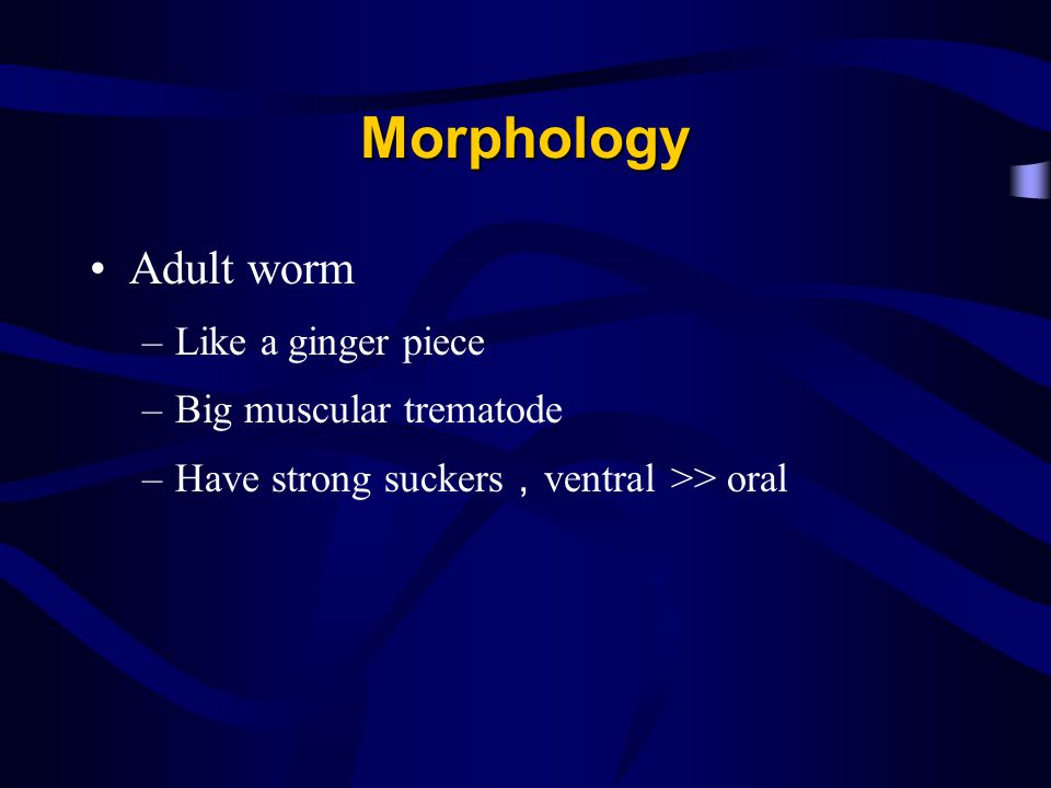 Morphology Adult worm Like a ginger piece Big muscular trematode