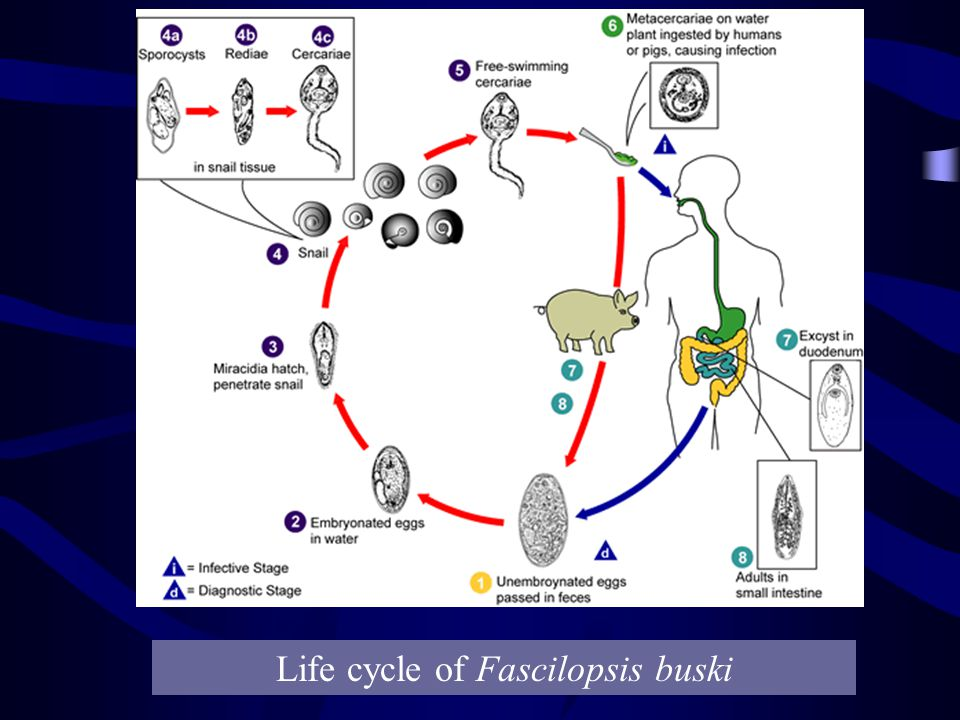 Life cycle of Fascilopsis buski
