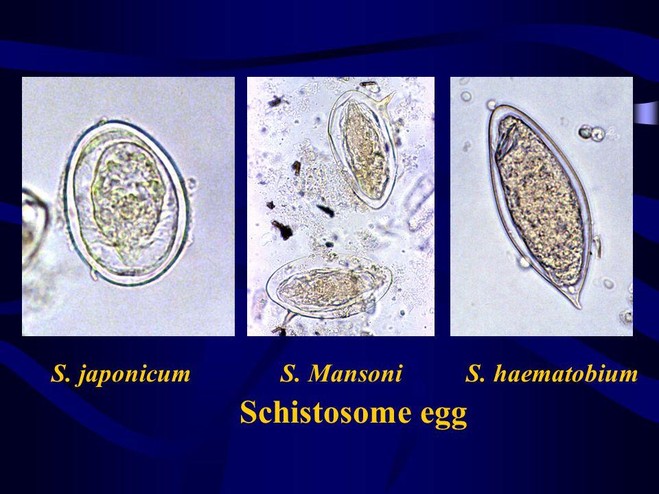 S. japonicum S. Mansoni S. haematobium