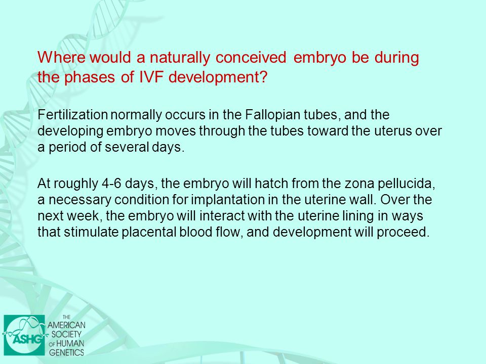 Where would a naturally conceived embryo be during the phases of IVF development