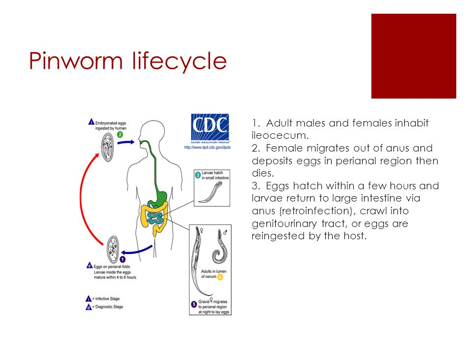 Pinworm lifecycle 1. Adult males and females inhabit ileocecum.