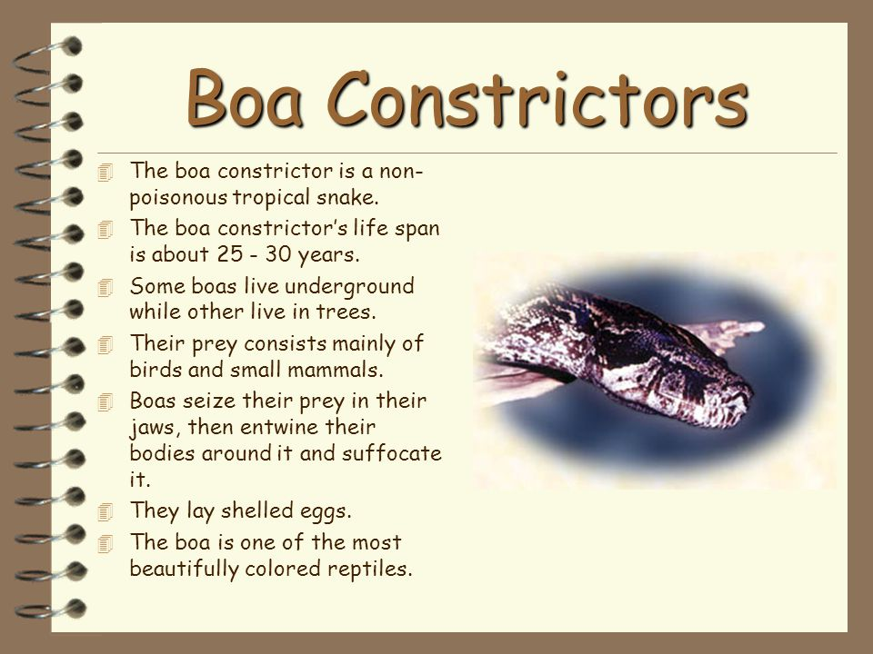 Boa Constrictors The boa constrictor is a non-poisonous tropical snake. The boa constrictor's life span is about 25 - 30 years.