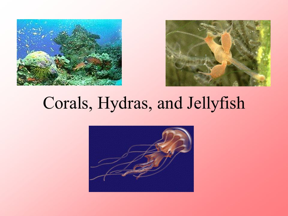 Corals, Hydras, and Jellyfish
