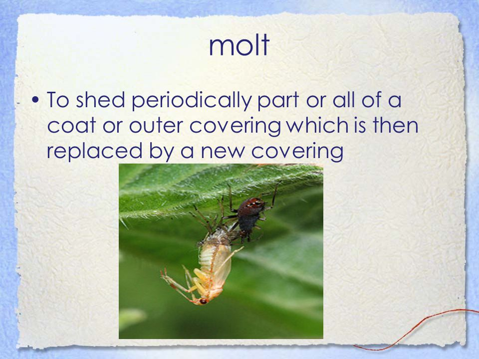 molt To shed periodically part or all of a coat or outer covering which is then replaced by a new covering.