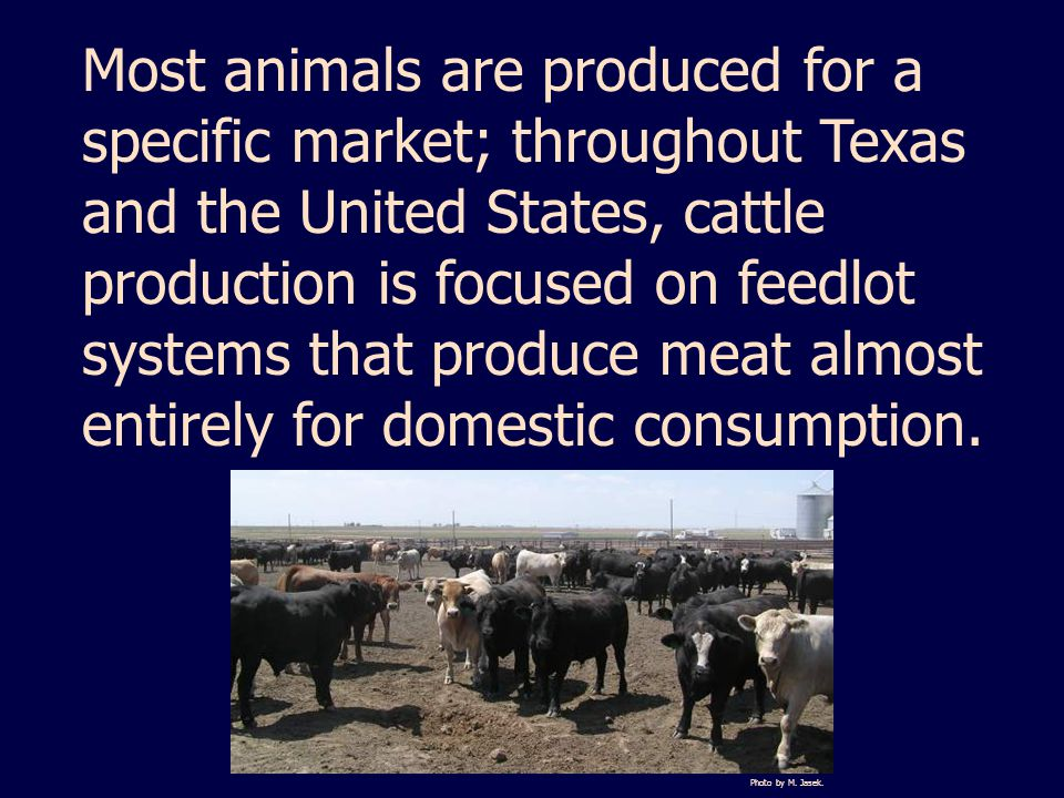 Most animals are produced for a specific market; throughout Texas and the United States, cattle production is focused on feedlot systems that produce meat almost entirely for domestic consumption.