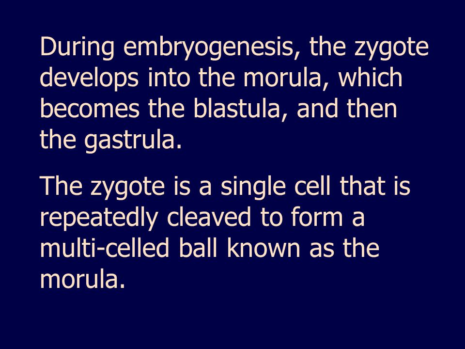 During embryogenesis, the zygote develops into the morula, which becomes the blastula, and then the gastrula.