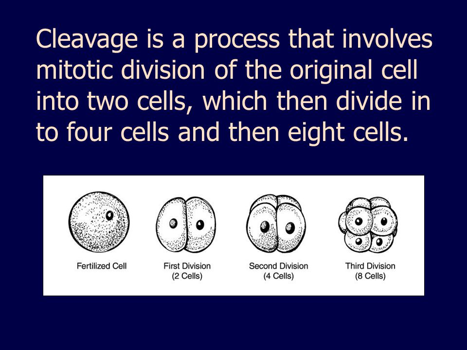 Cleavage is a process that involves mitotic division of the original cell into two cells, which then divide in to four cells and then eight cells.
