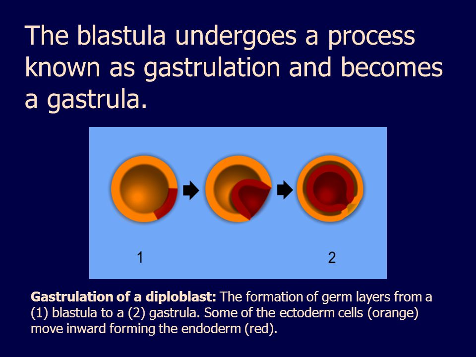 The blastula undergoes a process known as gastrulation and becomes a gastrula.